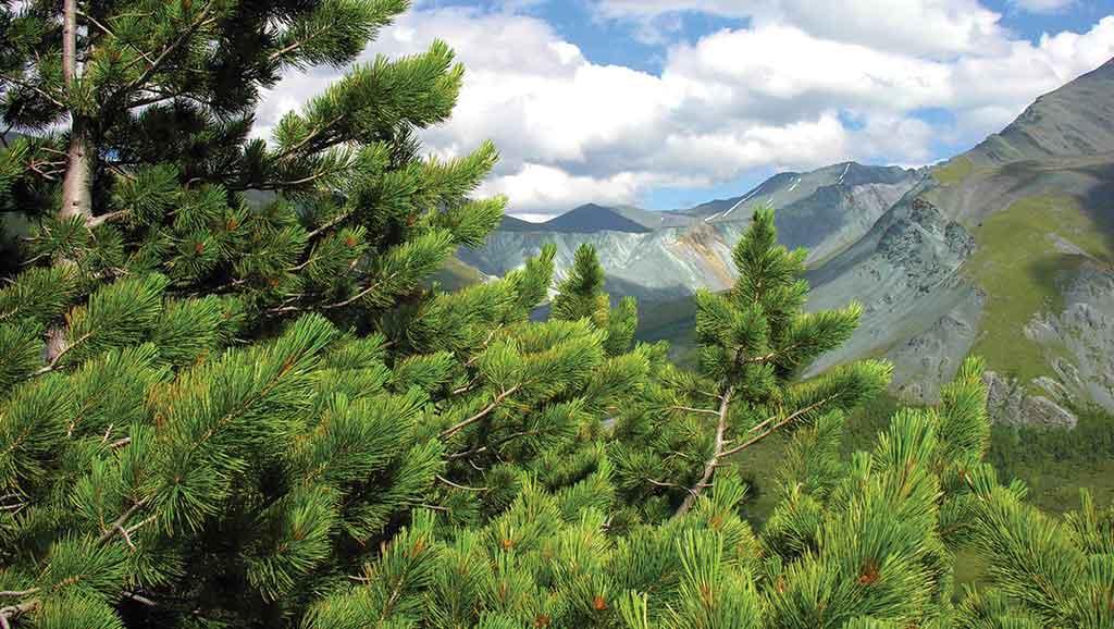Исполин сибирских лесов
