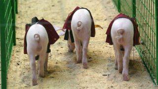 «Митпром» идет свиньей на Китай